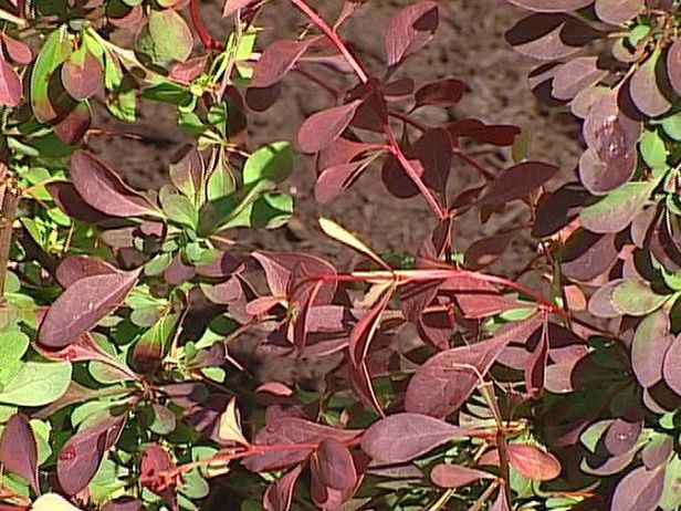 153 best images about red gold orange burgundy yellow for Purple low maintenance plants