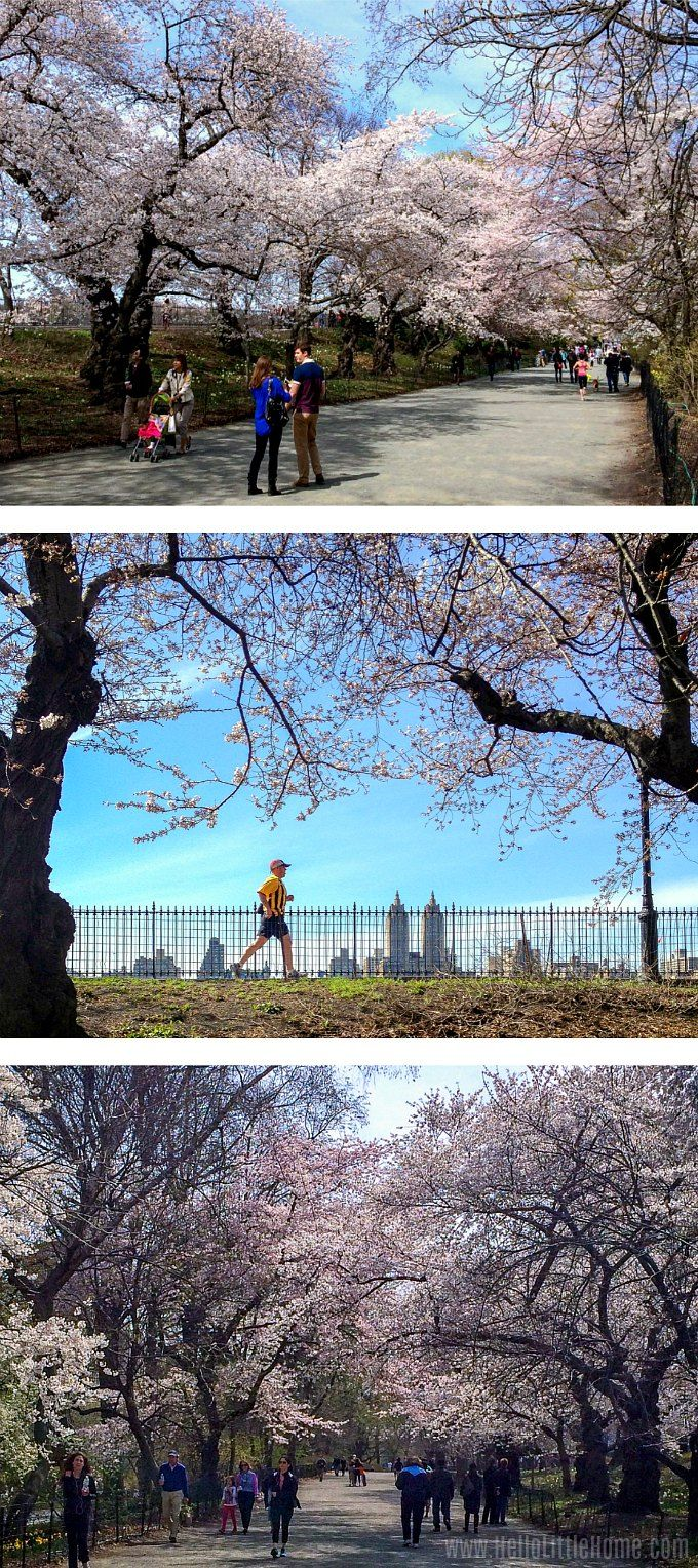 Best Things To Do In Central Park Nyc Central Park Secrets Blossom Trees Central Park Nyc Cherry Blossom