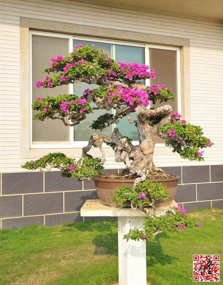 1000 images about bougainvillea on pinterest trees for Bougainvillea bonsai prezzo