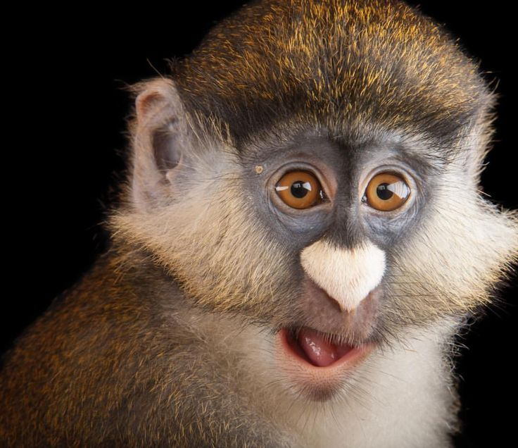 Afbeeldingsresultaat voor schmidt's red tailed monkey