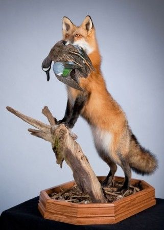 Fox and blue teal