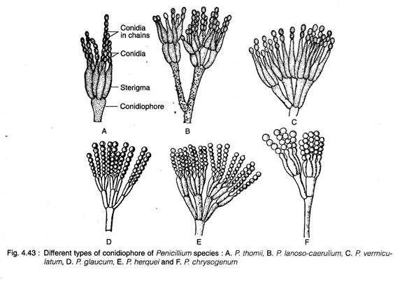 Different Types of Conidiophore of Penicillium Species