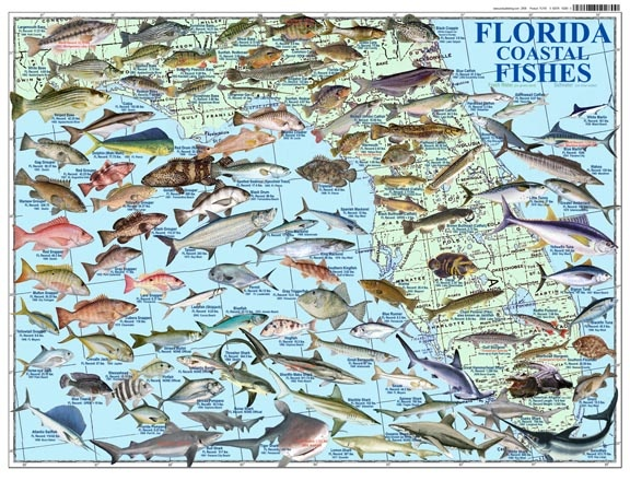 23 best images about florida fishes on pinterest fields for Florida saltwater fishing regulations quick chart