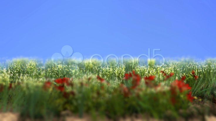 Poppy Field - Stock Footage | by ionescu  #free #freebies #stockfootage #stockfootagefree #pond5 #poppy