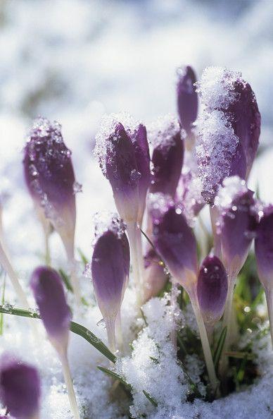 Purple Garden Keywords: Purple, Crocus, Icy, Flower Petal, Winter Wonderland, Frosty