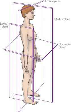 saggital plane, pertaining to 'nutation', defined as: In upright vertebrates, the sacrum is capable of slight independent movement along the sagittal plane. When you bend backward the top (base) of the sacrum moves forward relative to the ilium; when you bend forward the top moves back.[2] The anterior motion of the sacral base is called nutation, and the posterior motion is counter-nutation  http://www.dailybandha.com/2012/02/preventative-strategies-for-low-back.html