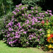 Lavender Rhododendron. 1 gallon for $28, 4-8 feet tall and wide.: Huge Lavender, Lavender Rhodedendron, Fast Growing, Growing Trees, Lavender Rhododendron, Landscape Sid Porches, Lavender Bloom, Lavenderrhododendron 01 Jpg, Lavender Bush Found