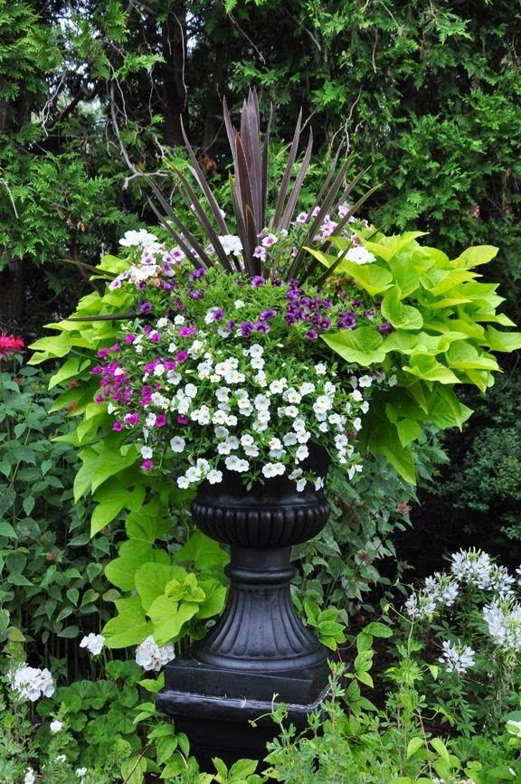 Black urn with Sweet Potato vine
