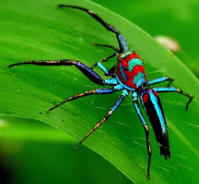 Chrysilla lauta is the type species of the jumping spider genus Chrysilla. It occurs in rain forest from Burma to China and Vietnam.