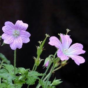 Vandaag heb ik geshopt op de boerenmarkt op het Haarlemmerplein en heb daarna de volgende plantjes in de (zeiknatte... :( ) tuin gezet, o.a. deze Geranium ox. 'Claridge Druce' of ook wel Ooievaarsbek... niet zo fijn als die wilde geranium, die is echt heel klein, maar wel zo 'lieflijk' !  Soort Vaste plant Hoogte 20-50 Bloem Paars, Rose Blad Groen Bloei I-III, IV-VI