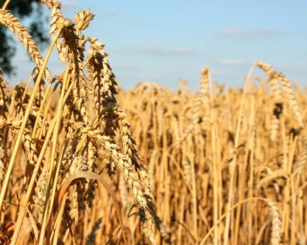 Экспорт пшеницы из России в январе-мае вырос более чем на 20% http://actualnews.org/ekonomika/183775-eksport-pshenicy-iz-rossii-v-yanvare-mae-vyros-bolee-chem-na-208205.html  Россия увеличила экспорт пшеницы на 20,78%, доведя показатели до 10,07 млн тонн. Статистические данные за январь-май предоставлены пресс-службой Федеральной таможенной службы.