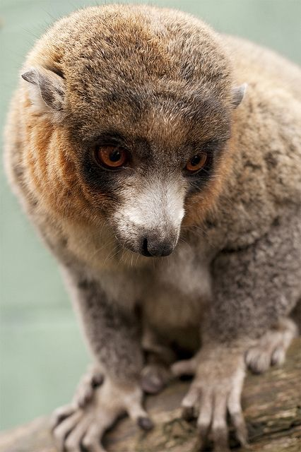 Mongoose lemur. Amazing how each animal in God's Kingdom is beautiful in their own right. Even the Mongoose lemur. :)