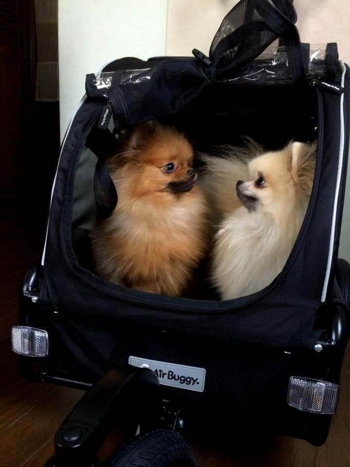 These Poms love to ride in their travel buggy. I wish mine enjoyed it as much lol.