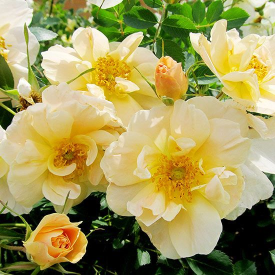 Finally there's a climbing rose that's hardy enough to survive northern winters. 'Above and Beyond' rose is a rugged newcomer that develops eye-catching blooms! http://www.bhg.com/gardening/gardening-trends/new-trees-shrubs-and-vines-for-2015/?socsrc=bhgpin051415roseaboveandbeyond&page=15