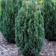 Cypress. Blå. 15 - 25 cm. Leveres barrodet. Chamaecyparis Silver Queen. (mp-34).