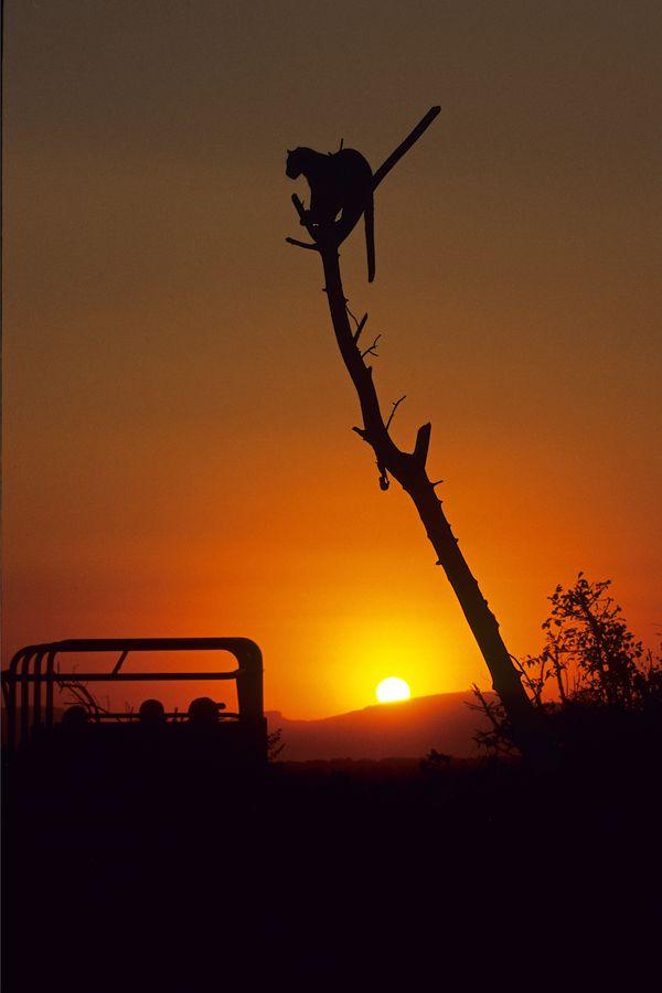 Safari Leopard , Kruger Park, South Africa
