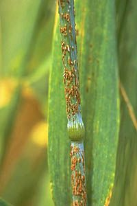 pustule: small blisterlike elevation of epidermis formed as spores emerge (pustules of wheat stem rust urediniospores)