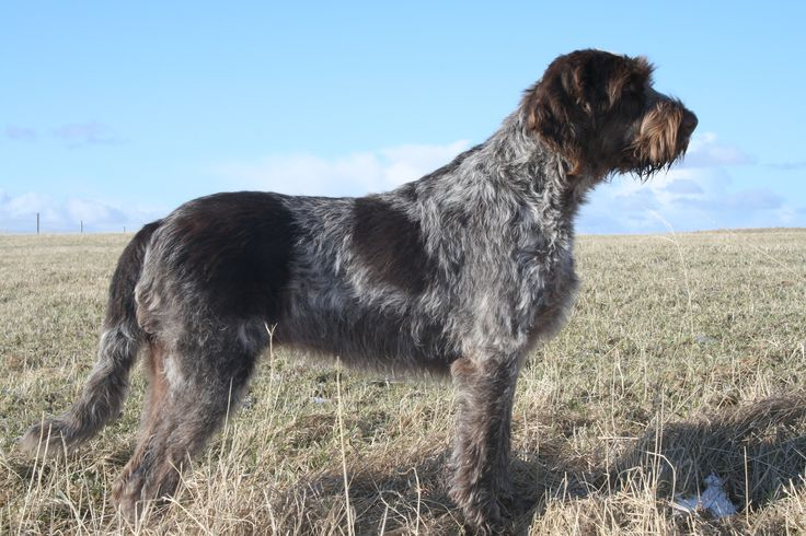 255 best images about AKC & FSS Dog Breeds on Pinterest ...