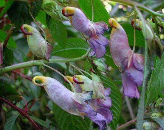 Rare parrot flowers.