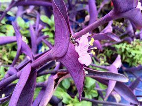 ENTRE PLANTAS Y MACETAS nos muestra información interesante sobre la Setcreasea o Tradescantia pallida, una planta colgante tremendamente bella y popular.