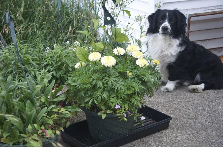 Tao Dog in the Bee Garden