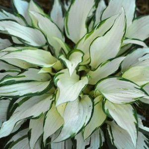 White foliage Hosta.