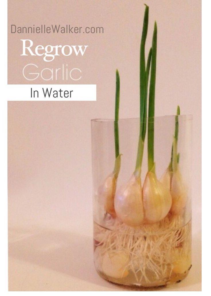 Regrow Garlic In Water Indoor Vegetable Gardening Sweet