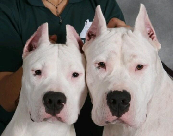 ... Dogo, Dogo Argentina, Dreams Dogs, Dogs Breeds, Argentine Mastiff