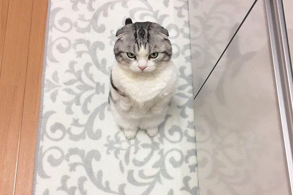 飼い主がキッチンに立つと「ごはん」だと思って隣に立っちゃうマンチカンがめちゃくちゃ可愛い!