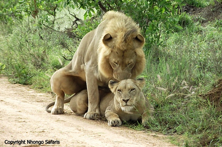 More mating lions.