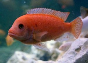 «Черные пятна» у аквариумных рыб