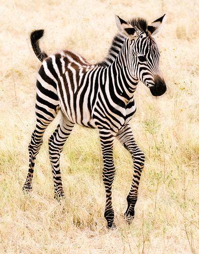 baby zebra it's so cute