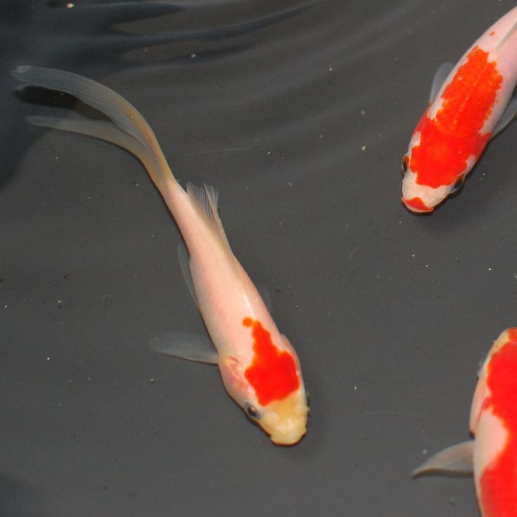 10+ images about Sarasa Comet Goldfish on Pinterest | Live ...