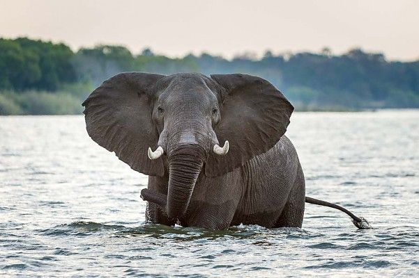 Elephant in the Zambezi River - quintessential Africa
