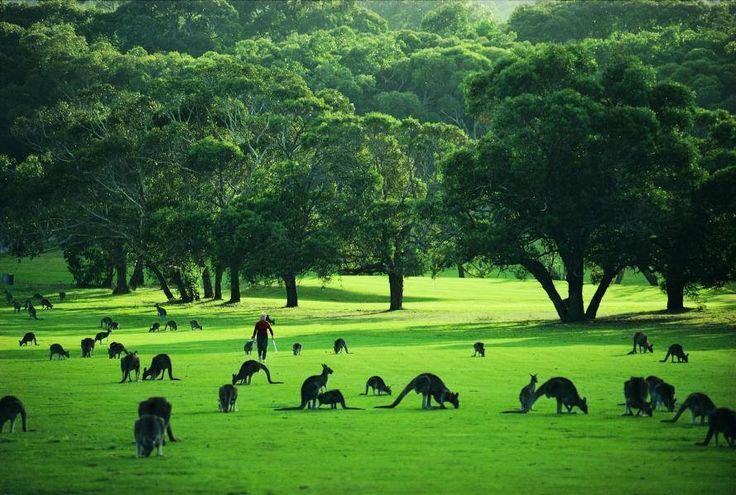 Kangaroos on the Anglesea golf course