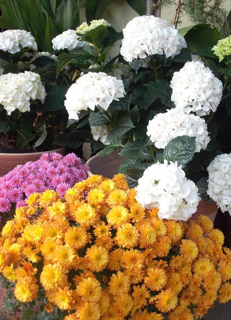 hrizanteme i bele hortenzije