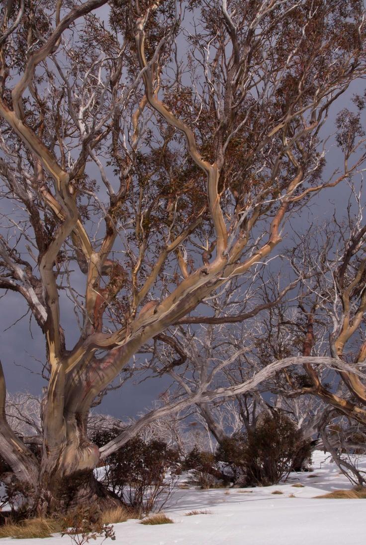 Snowgums, Mt Kosciuszko National Park, Australia.