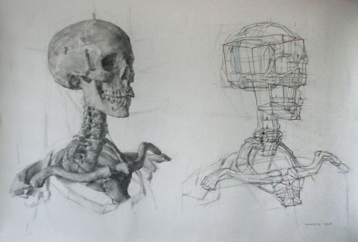 Skull Structural Drawing by Dan Thompson