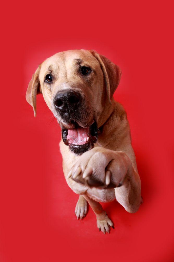 Great Golden Dane Great Dane Puppy Dane Dog Puppies