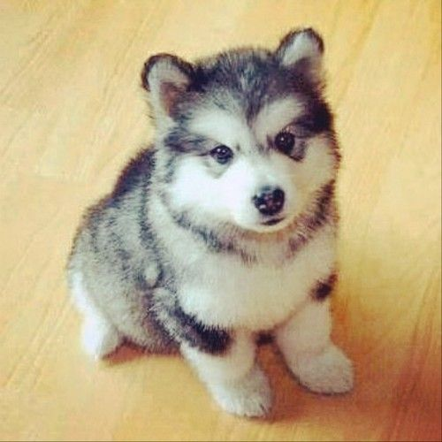 Pomsky my kids would love me if I let them have one!