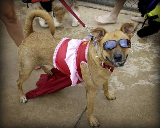 Pooches can compete dive and romp at saturday 39 s doggie - Vanston swimming pool mesquite tx ...
