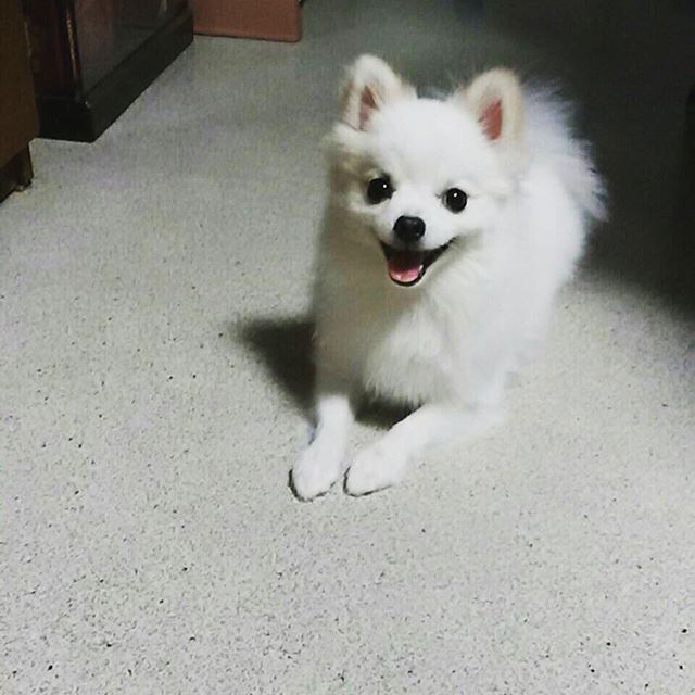 Happy smiling white Pomeranian dog, so cute!  #pom #dog #ポメラニアン #ぷく #ぷっくん #pomeranian #smile #わろてる