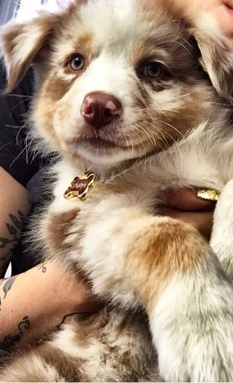 Australian Shepard – what a cutie pie! – #australian #cutie #pie #Shepard #AustralianShepherdPups