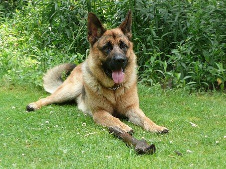 17 best images about german shepherds on pinterest 18 month old best dogs and king shepherd. Black Bedroom Furniture Sets. Home Design Ideas