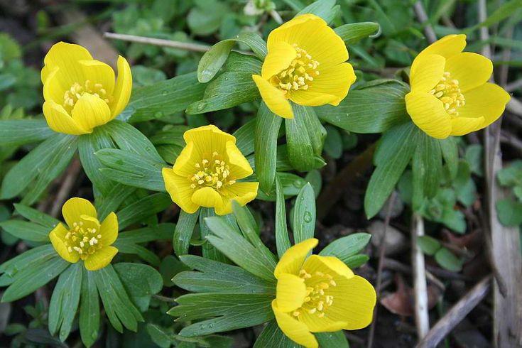 Einheimische Pflanzen die jetzt im März blühen