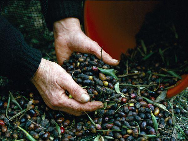Paxos   Olive Harvest
