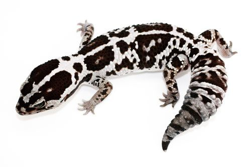 The Fat-Tailed Gecko is able to breed after roughly 7 months of age