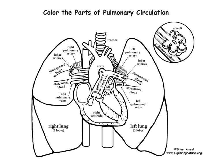 Pulmonary Circulation Coloring Page Heart And Lungs Anatomy