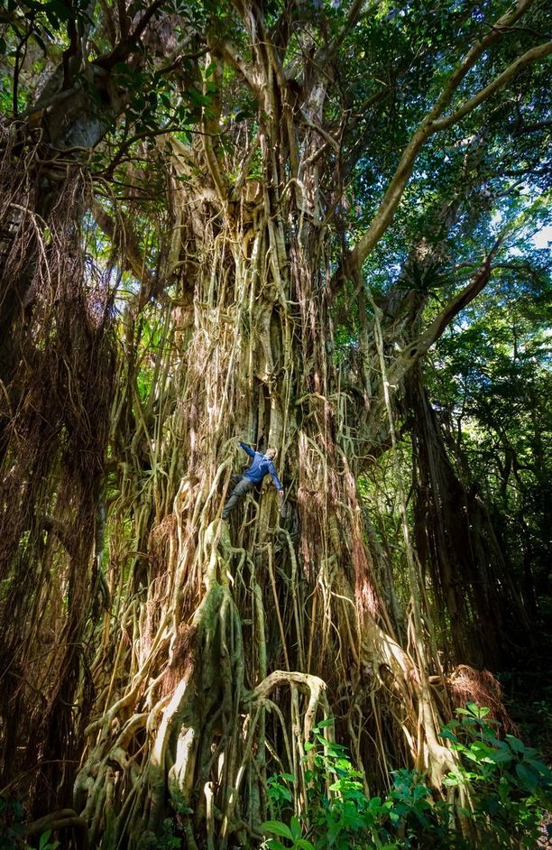 An 800+year old Ovava Tree found on the Island of Eua in Tonga is one of the oldest trees in the country.