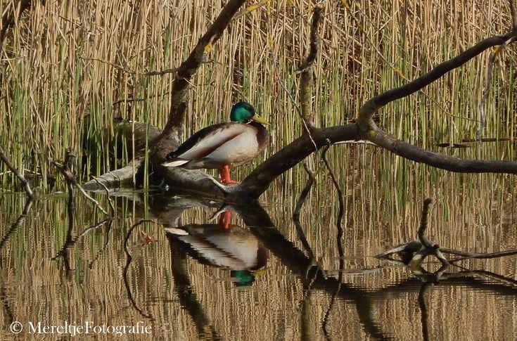 Een woerd  op een tak kijkt oplettend rond.  In tegenstelling tot de broedende vrouwtjes eenden in hun schutkleuren hebben de mannetjes een kleurrijk verenpak